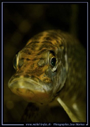Face to face with this beautiful and young pike fish.... :O) by Michel Lonfat