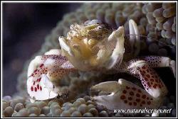 Beware porcelain crab watching!!!!!............350D/70mm by Yves Antoniazzo