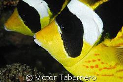 Halfmoon Butterflies, always together!! by Victor Tabernero