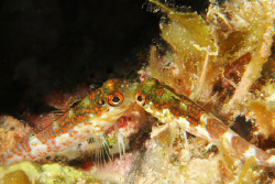 Blenny behavior.   by David Heidemann