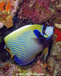 Imperial angelfish (Pomacanthus imperator). Canon G9 with... by Bea & Stef Primatesta
