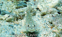 Taken on sandy bottom off Gozo, Malta