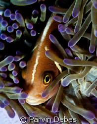 anemone fish by Parvin Dabas