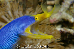 Blue Ribbon Eel by Libor Spacek
