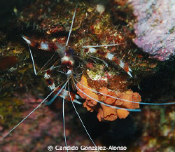 Banded Coral shrimp  by Candido Gonzalez-Alonso