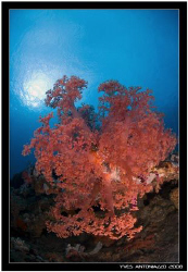 My favorite non mouving subject are those soft corals tak... by Yves Antoniazzo
