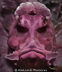 Rhinopias eschmeyeri Rhinofish Lembeh strait (Rhino-fish), (Rhinofish), (Rhino fish),
