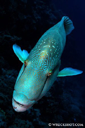 Napoleon Wrasse, Little Brother, Egyptian Red Sea. by Jim Garland