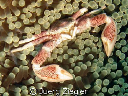 Beautiful Porcelan Crab in Anemone - very close and smili... by Juerg Ziegler