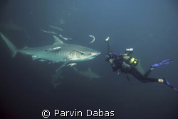 tiger shark dive off umkomass,durban,south africa by Parvin Dabas