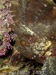 2008/09/07  Waspfish by Harry Yang