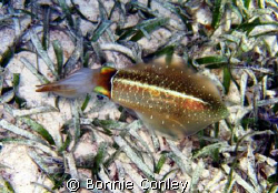 While snorkeling at Grand Cayman I came upon several squi... by Bonnie Conley
