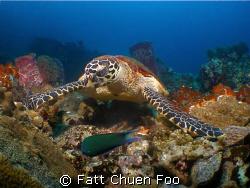 Hawksbill turtle at Pulau Redang, Malaysia by Fatt Chuen Foo