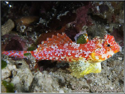 Beautiful little Dragonet (Canon G9, D2000w, UCL165) by Marco Waagmeester