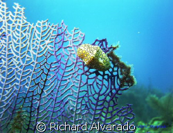 Flamingo Tongue on Gorgonian Sea Fan - Taken at the Coron... by Richard Alvarado