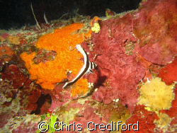 The friendliest Juvenile Spotted Drum I've ever seen.  I ... by Chris Crediford