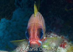 Grumpy old fart!  Squirrelfish taking me head-on.  First ... by Melanie Daneluk