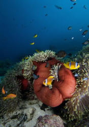 Red anemone with anemone fishes. Nikon D300, 10-20mm by Dray Van Beeck