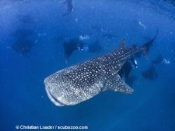 Whale Shark and Mantas. Baa Atoll, Maldives. Olympus SP35... by Christian Loader