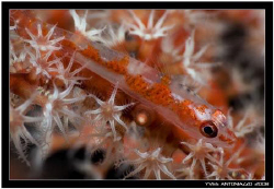 Coral goby well camouflaged in this gorgonian  D200/105 VR by Yves Antoniazzo