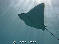 "Eagle Ray at the Hausreef  ""El Quadim"" in El Quseir, take... by Beate Krebs"