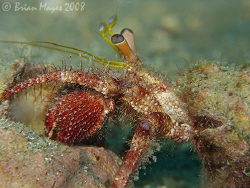 This Hairy Red Hermit Crab (Dardanus lagapodes) came out ... by Brian Mayes