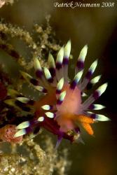 fabulina nudi climbing the reef..taken with Canon 400D/Hu... by Patrick Neumann