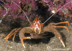 Squat lobster.
