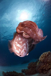 Broadclub cuttlefish in the sun. by Erika Antoniazzo