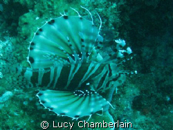A Zebra Lionfish by Lucy Chamberlain