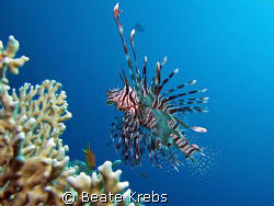 Lionfish in the Res Sea ,  taken with Canon S70 and INON ... by Beate Krebs