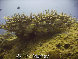 Some fish are taken for granted, but I always notice thes... by Kirk Murray