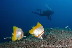 Margined Coralfish.  Ningaloo Reef, Western Australia.  C... by Ross Gudgeon