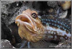Portrait of a jawfish  D200/60mm by Yves Antoniazzo