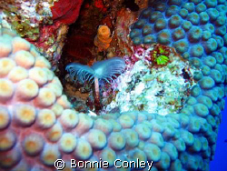 Tiny Dancer.   Photo taken August 2008 in Grand Cayman wi... by Bonnie Conley