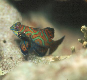Mandarin fish taken in Palau.  Equipment:  Nikon N90s, Aq... by Beverly Speed