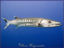 Great Barracuda (Sphyraena barracuda) in Tulamben - (Cano... by Marco Waagmeester