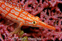 Longnose Hawkfish by Libor Spacek