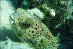 spiny puffer  by Durand Gerald
