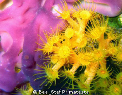 Anemon & sponge close up (Parazoanthus axinellae & Oscare... by Bea & Stef Primatesta