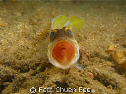Open wider please! Angry Jawfish taken at Bunaken, Manado... by Fatt Chuen Foo