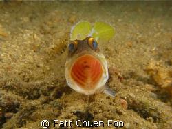 Open wider please! Angry Jawfish taken at Bunaken, Manado... by Fatt Chuen Foo