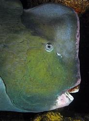 Humphead Parrotfish, Tulamben by Doug Anderson
