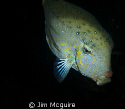 A sleeping boxfish on our ski area wreck dive.  Kwajalein... by Jim Mcguire