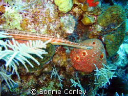 Trumpetfish seen in Grand Cayman August 2008.  Photo take... by Bonnie Conley