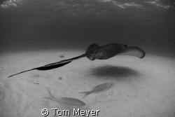 Stingray City by Tom Meyer