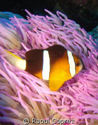 Amphiprion chrysopterus by Raoul Caprez
