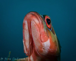 What are you doing down there?  Red-barred Rockcod.  Ning... by Ross Gudgeon