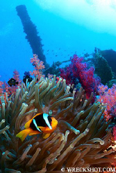 Anemone Fish on the Wreck of the Numidia, Big Brother Isl... by Jim Garland