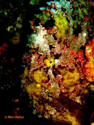 Frogfish close-up..... by Allen Walker